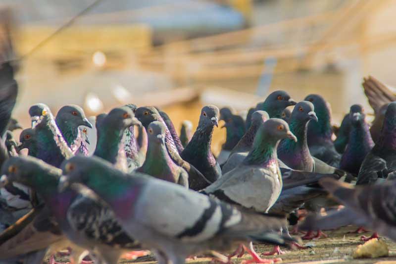 control-de-palomas-y-aves-home